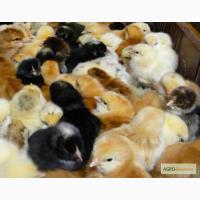 Продам суточных цыплят оптом