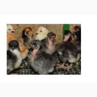 Суточные цыплята от домашних кур