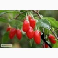 Продам годжи ягодыб 12-18 тонн