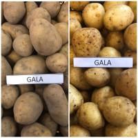 Мы продаем красный, желтый картофель (литовский) лаура, гала, винета, мелоди и другие