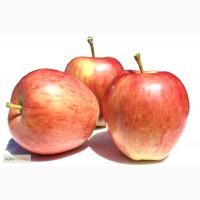 Продам яблоки сорта глостер из молдавии