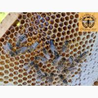 Пчелопакеты. Пчелиные плодные матки. Карпатка