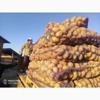 Продаем картофель оптом от 20 до 5000 тонн