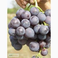 Продам виноград Кардинал