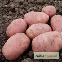 Картофель сорт Алладин продам