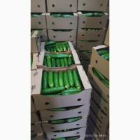 Предлагаем свежие огурцы и томаты белорусского производства