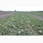 Продам семена арбуза сорт Виктoрия