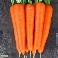 Продаю семена моркови, сорт ЛагунА