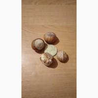 Саженцы фундука сортов: Трапезунд, Керасунд, Озенбаш