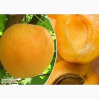 Продам саженцы абрикоса Шалах