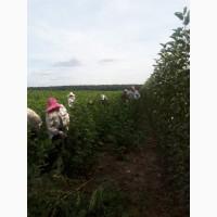 Саженцы плодовых деревьев для сада