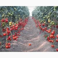 Оптовая продажа помидор из Турции