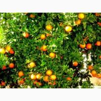 Апельсин высшего сорта