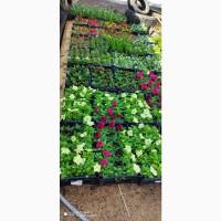 Продам садовые цветы в горшках