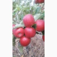 Молдавские яблоки от производителя оптом. Ред Чиф, Джонаголд, Симиренко, Флорина, Айдаред