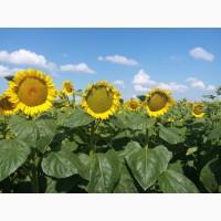 Семена подсолнечника Рейна - Гибрид подсолнечника устойчив к 8 расам заразихи