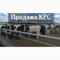 Продажа племенных нетелей молочных пород КРС