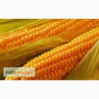 Продам кукурузу продовольственную