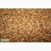 Продам пшеницу второго класс