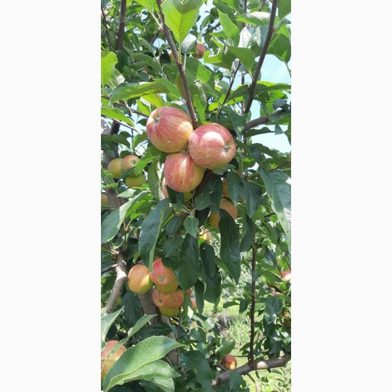 Фото 4. Летние яблоки на экспорт Гала Роял, Гала Барон от производителя