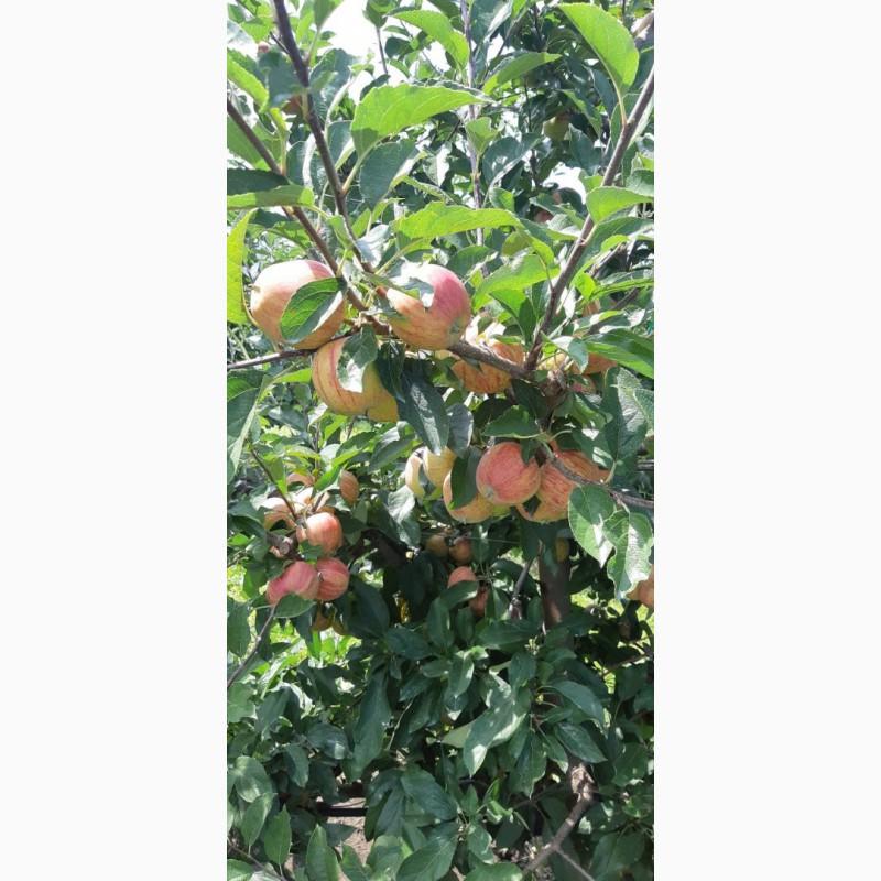 Фото 5. Летние яблоки на экспорт Гала Роял, Гала Барон от производителя