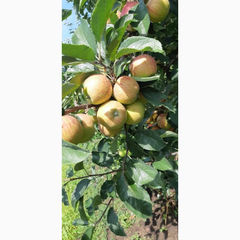 Фото 6. Летние яблоки на экспорт Гала Роял, Гала Барон от производителя