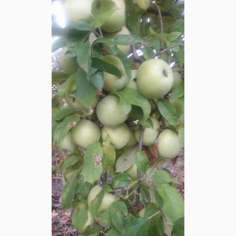 Фото 7. Летние яблоки на экспорт Гала Роял, Гала Барон от производителя