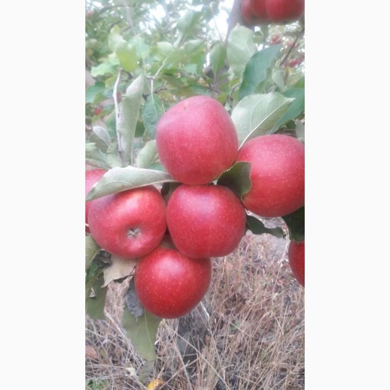Фото 8. Летние яблоки на экспорт Гала Роял, Гала Барон от производителя