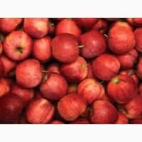 Летние яблоки на экспорт Гала Роял, Гала Барон от производителя