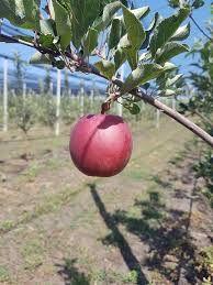 Фото 2. Летние яблоки на экспорт Гала Роял, Гала Барон от производителя