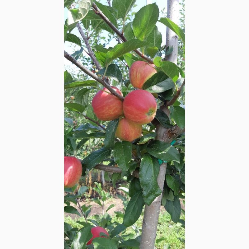 Фото 3. Летние яблоки на экспорт Гала Роял, Гала Барон от производителя
