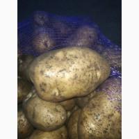 Картофель в неограниченных объемах